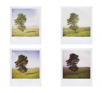 A series of Polaroid images taken of three trees on a triangular walk taken every two weeks over the year.